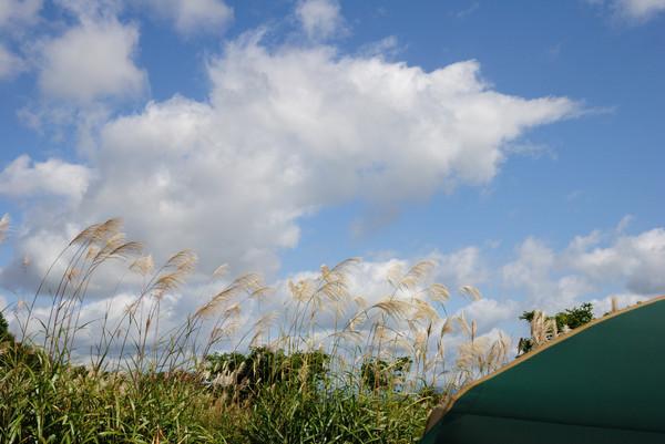 秋風に揺れるススキ
