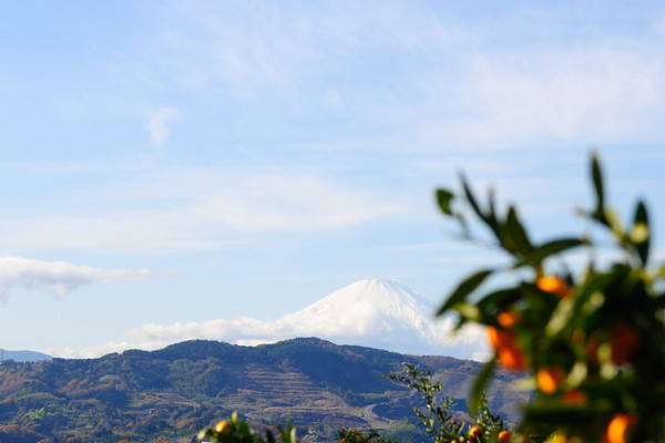 みかん園から望む富士山
